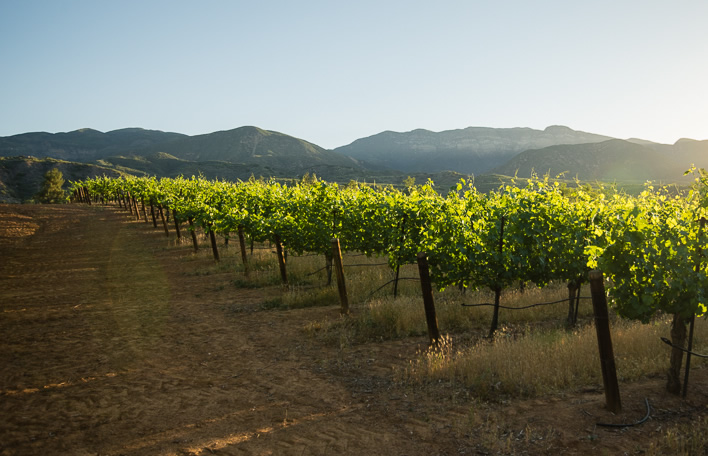 The ojai vineyard for The ranch house in ojai